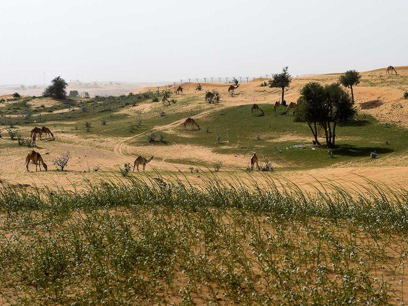 It rained so much in the UAE the past few weeks that the desert has started growing grass